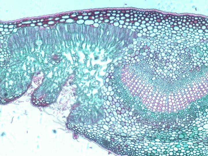 Gen Hort Plant Anatomy Oleander Leaf Midvein And Crypts